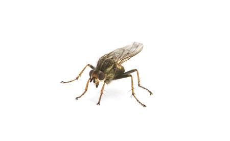 malady: fly is isolated on a white background Stock Photo