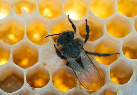 a bee fills honeycombs fresh honey photo