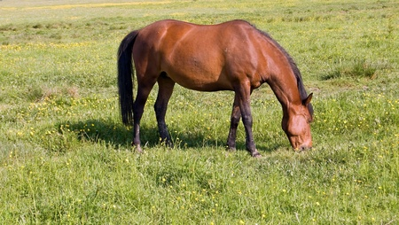 horse grazes on the field Stock Photo