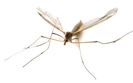 moscerino: zanzara isolato su sfondo bianco Archivio Fotografico