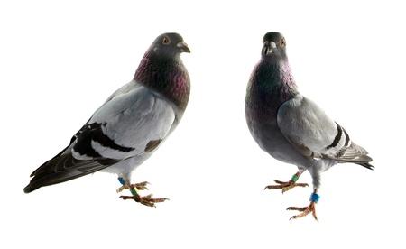 pigeons: deux pigeons gris isol� sur fond blanc Banque d'images