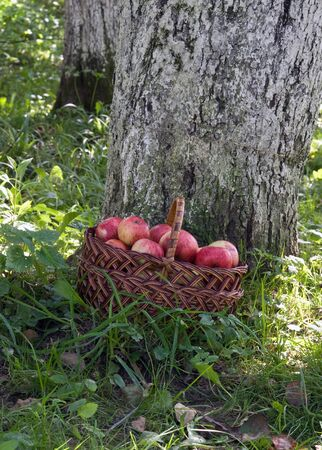 basket of apples is near a tree photo