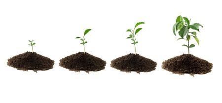 four plants lemon green and soil Stock Photo - 12932115