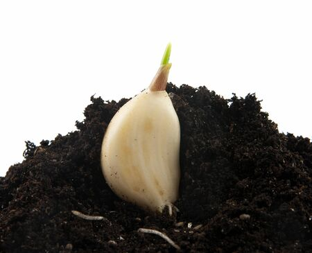young plant of garlic in soil Stock Photo - 12932128