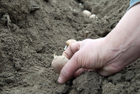 womanish hand seats a potato in earth photo