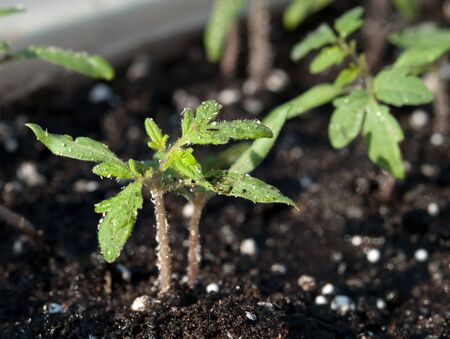 young green tomato growing from soil photo