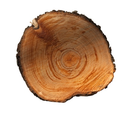 tree stump isolated on white background
