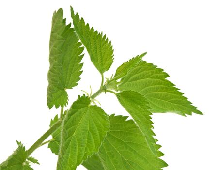 leaves of nettle close up photo