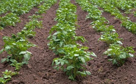 rows of potatoes in field  photo