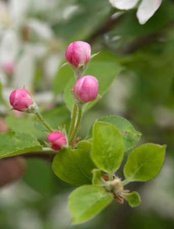 white and pink blossoms on apple tree branches photo