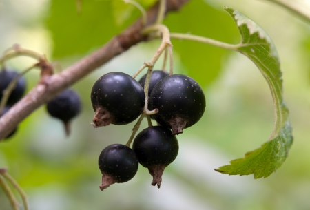 ribes: Macro of black currant bunch lying on green leaves  Stock Photo