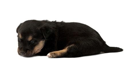 black puppie on white background photo