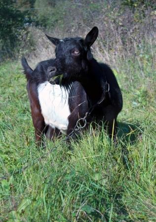 grazed: a goat grazed on a meadow