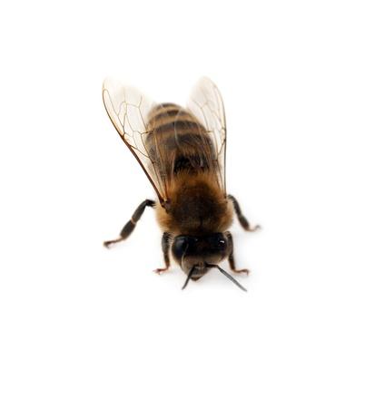 miel de abeja: abeja aislado sobre fondo blanco Foto de archivo
