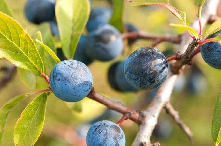 Blackthorn, Prunus spinosus close up Stock Photo