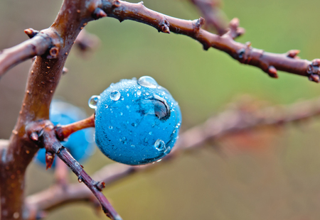 drops of water on blackthorn photo