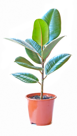 rubber plant (ficus), isolated on white