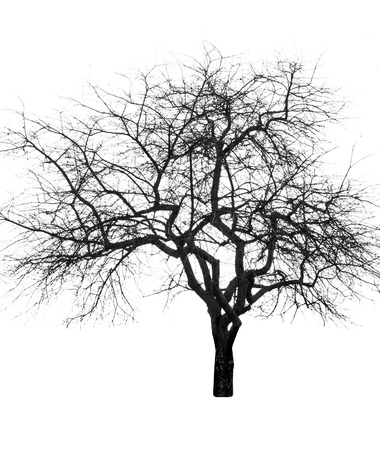 leafless: large bare tree without leaves. Isolated over white background Stock Photo