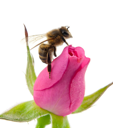 bee and pink rose isolated on white