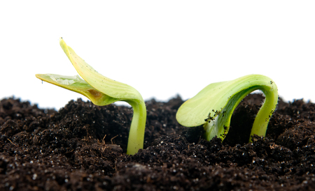 cucumber seedling in the ground, isolated photo