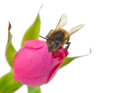 bee and pink rose isolated on white photo