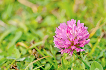 flowering red clover. Close up  photo
