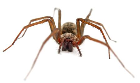 arachnophobia animal bite: live spider isolated on white background