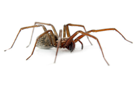 a spider isolated on white Stock Photo - 26586175