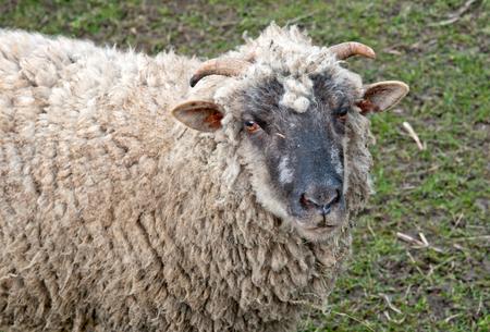 background  grass: ram on a background grass Stock Photo