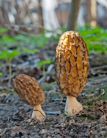 sprouted: grey morel mushrooms close up Stock Photo