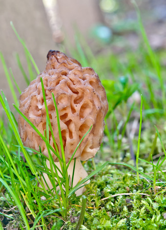 grey morel mushroom close up photo