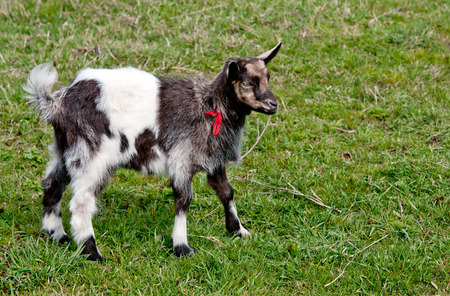 young goat is on a background a green grass photo