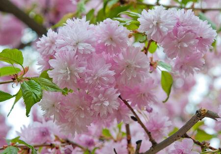 flor de sakura: una flor de sakura de cerca Foto de archivo