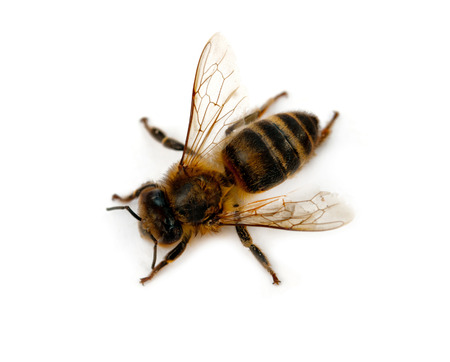 bee isolated on white background Stock Photo