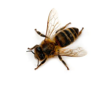 bee isolated on white background Stock Photo