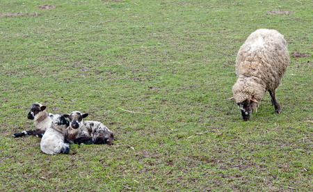 dutch sheep are grazing on the countryside Stock Photo