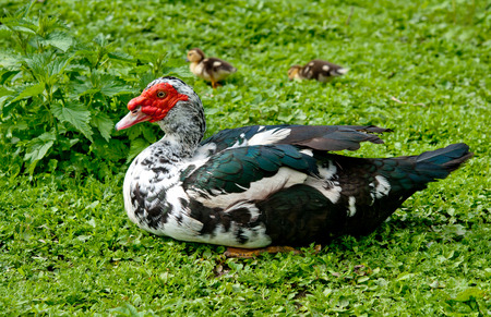 muscovy duck: big Muscovy duck with chickens