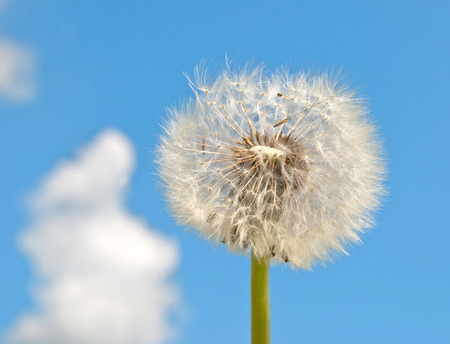 blowball: blowball and seeds in blue sky  Stock Photo