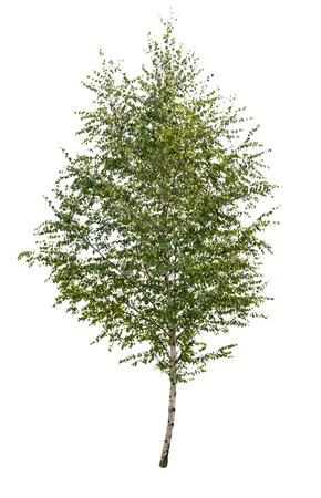 single birch tree isolated  Stok Fotoğraf