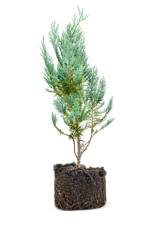 thuja occidentalis: thuja with dirt isolated on white