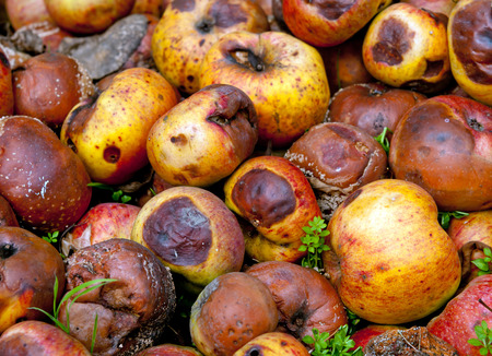putrefied: rotten apples close up Stock Photo