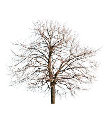 withered: dead tree isolated on white background
