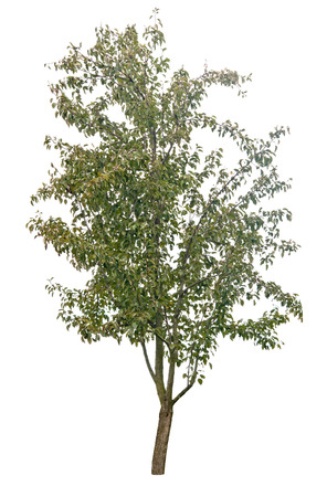pear tree isolated on white