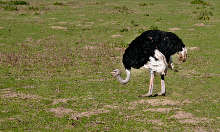 ratite: ostrich in ngorongoro crater, tanzania, africa