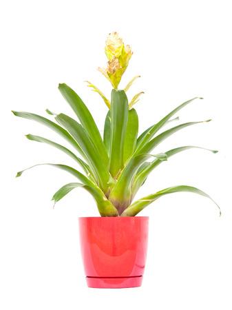 neoregelia: a bromeliad isolated on white background