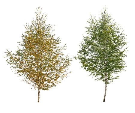 절연 된 두 자작 나무 트리 스톡 콘텐츠