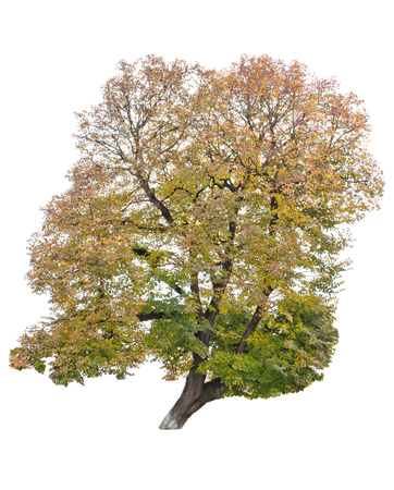 autumn tree isolated on white photo