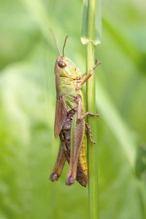 Closeup of a locust on a leaf photo