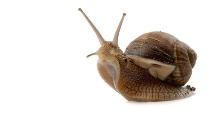 snail isolated on a white background Stock Photo - 35121487