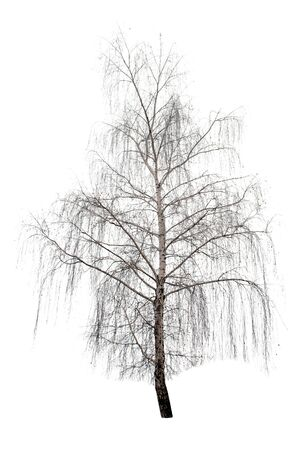 winter birch tree isolated